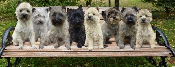 Lochrin Cairn Terriers